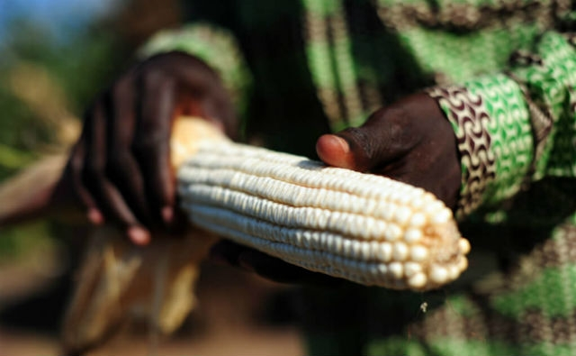 Ghana government sued over GMO commercialization