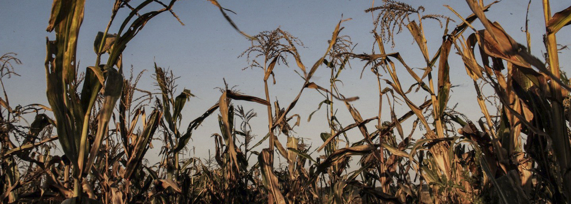 Concern over potential authorization of GM wheat in Uruguay